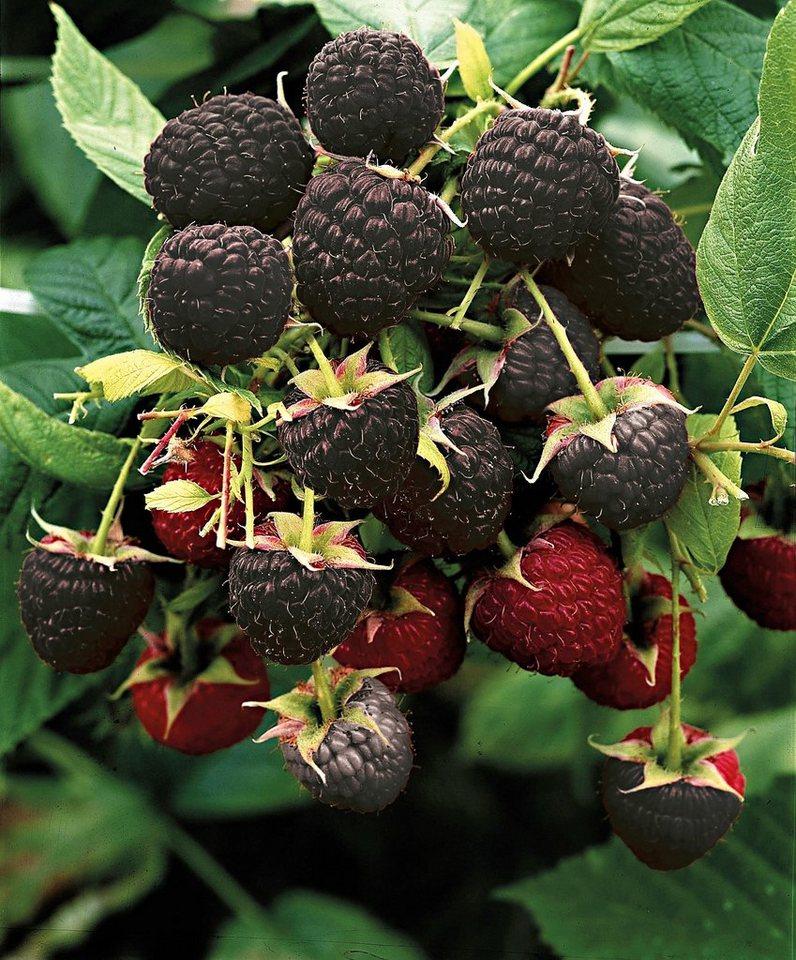 Obst »Himbeere 'Black Jewel'« in grün