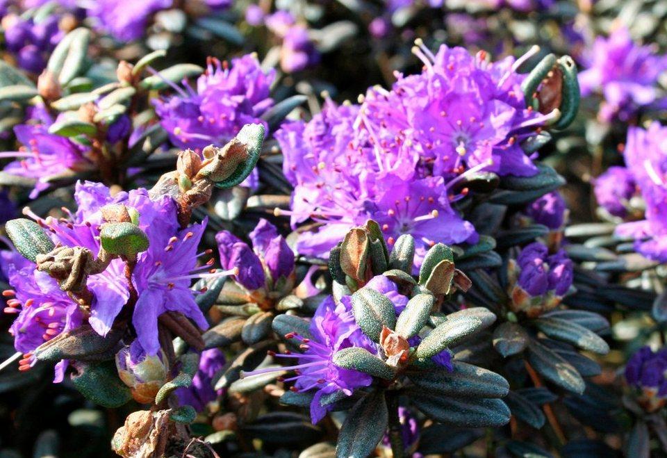 Rhododendron »Zwergrhododendron Saint Merryn« in lila