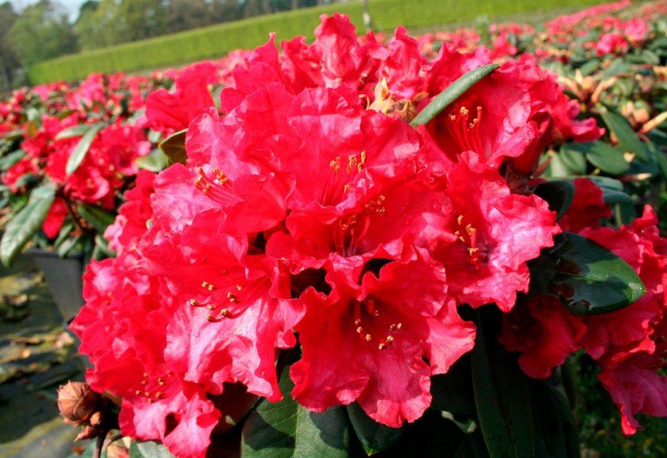 Rhododendron »Zwergrhododendron Scarlet Wonder« in rot