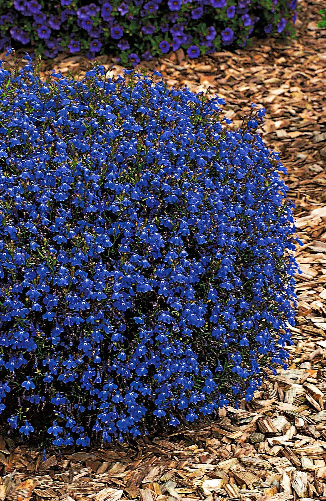Sparset: Beet & Balkonpflanze »Lobelia«, blau und weiß (8 Pfl.)