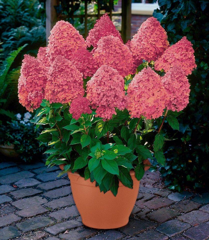 Komplett-Set: Hortensie »Magical Fire®« inkl. Übertopf in rosa