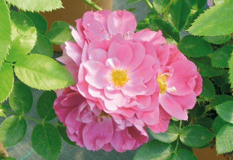 Bodendeckerrose »Lavender Dream« in rosa