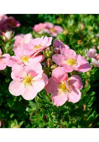 BCM Fingerstrauch Lovely Pink (3 Pfl.)