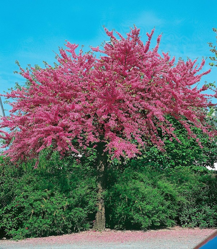 Kanadischer Judasbaum »Appalachia« in rot