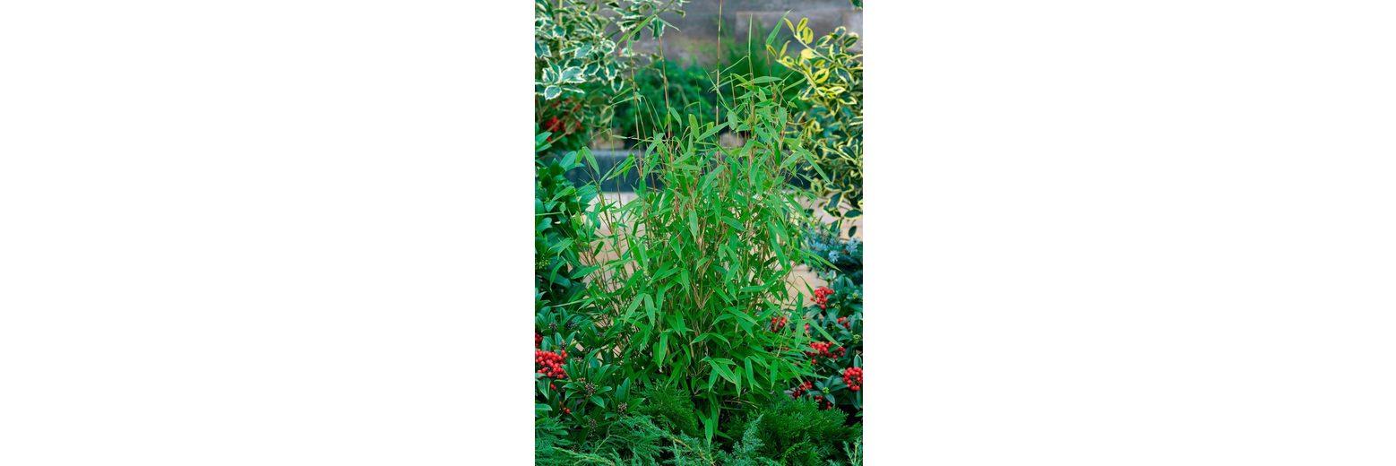 Bambus »Jumbo«