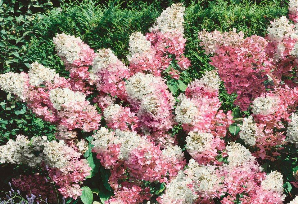 Rispen-Hortensie Phantom® XXL in rosa