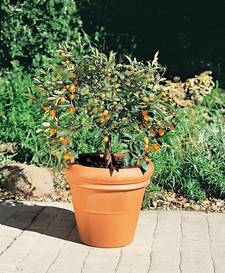 Zitrusbaum »Kumquat-Stämmchen« in orange