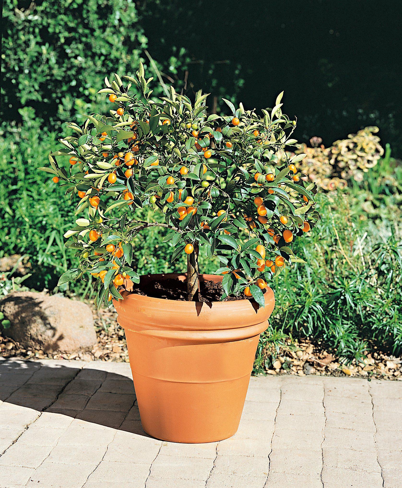 Zitrusbaum »Kumquat-Stämmchen«