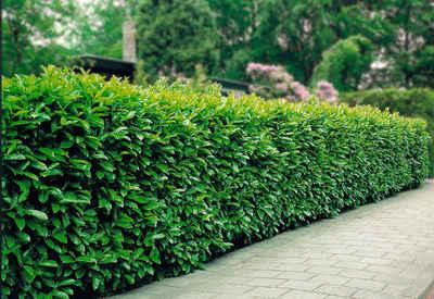 Heckenpflanzen online kaufen | OTTO