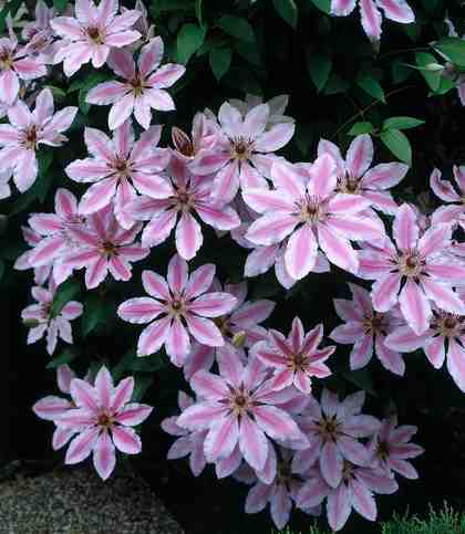 Clematis Nelly Moser (2 Pfl.)