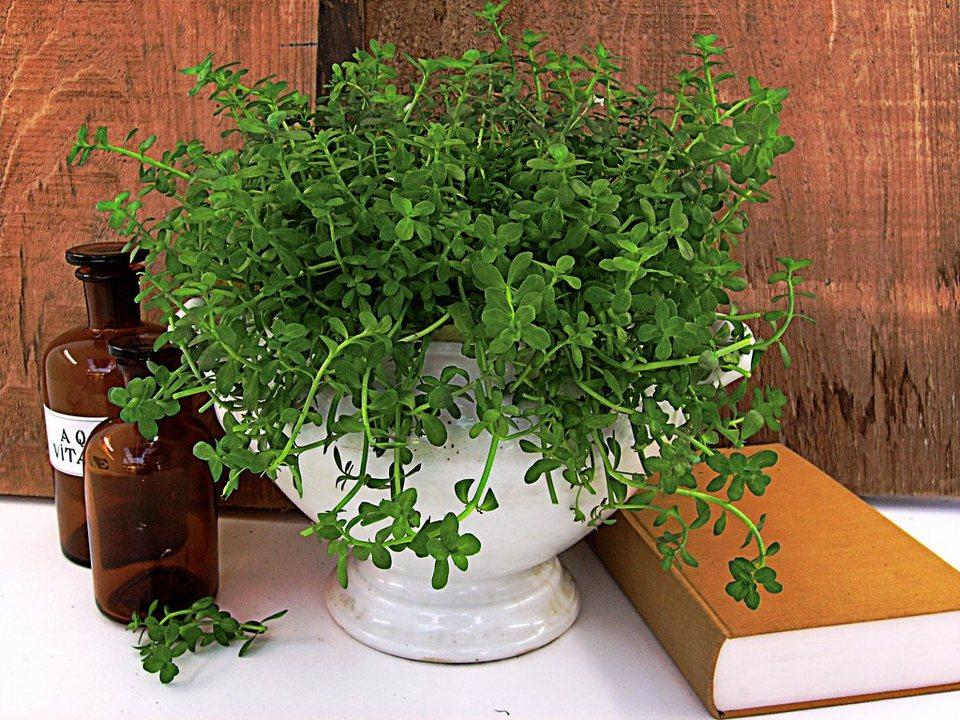 Gedächtnisstütze Brahmi (3 Pfl.) in grün
