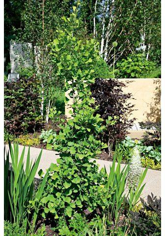 BCM Fächerblattbaum Troll 30 cm