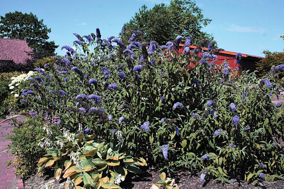 Gehölz »Sommerflieder Adonis Blue®« (3 Pfl.) in grün
