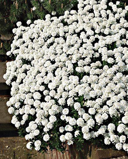 Staudengewächs »Schleifenblume« (3 Stk.) in weiß