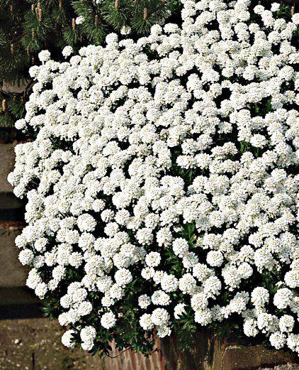 Staudengewächs »Schleifenblume« (3 Stk.)