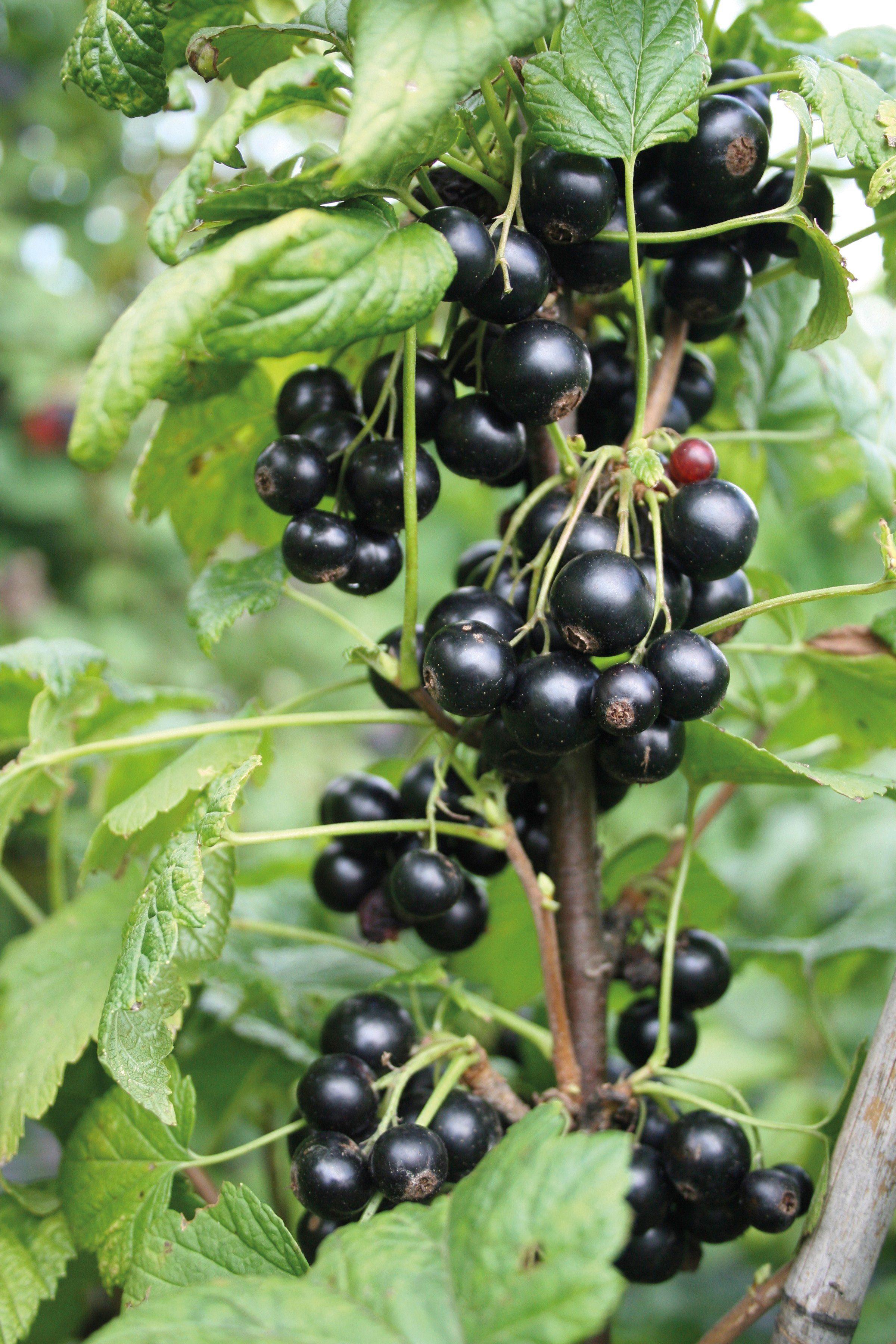 Obst »Johannisbeere Lubera Cassissima Nimue«
