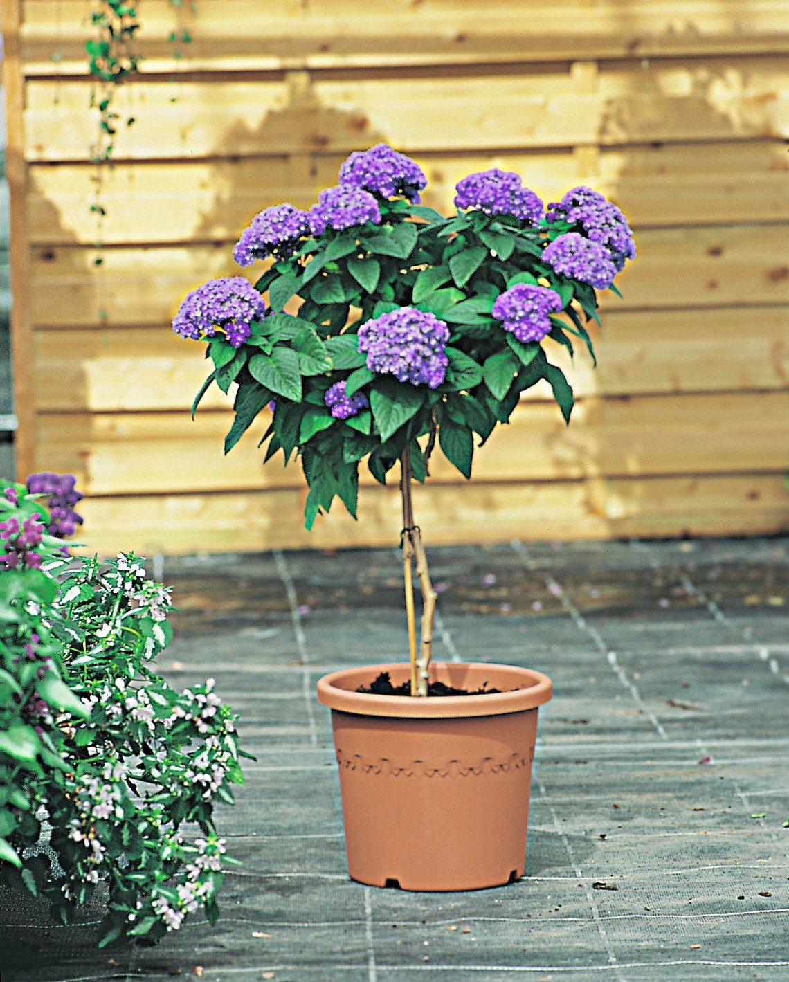 Beet- & Balkonpflanze »Vanilleblume«