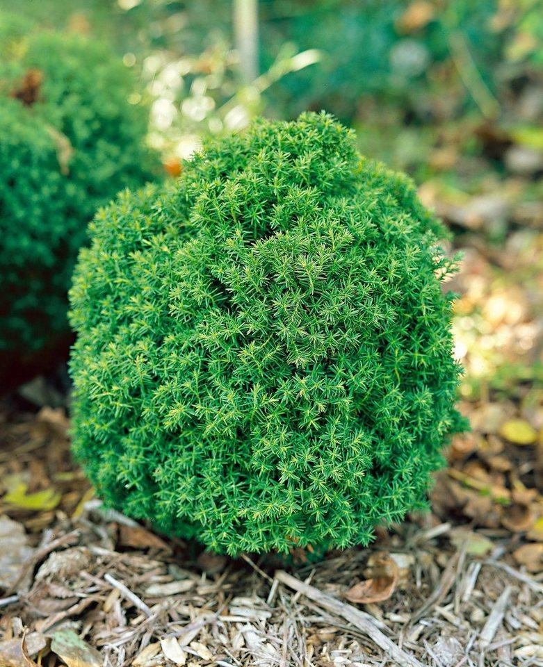 Abendländischer Lebensbaum Teddy in grün