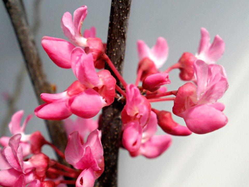 Kanadischer Judasbaum »Tennessee Pink« in rosa