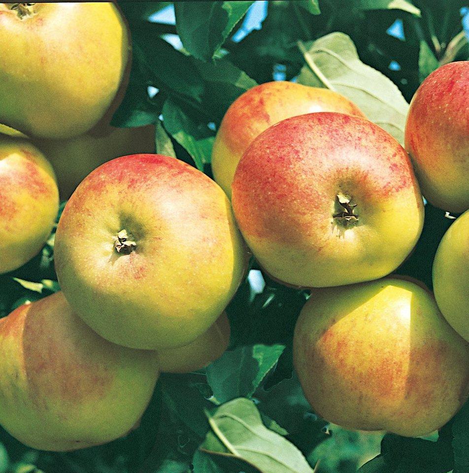 Obstbaum »Apfel Gravenstein«, im 5-l-Container in grün