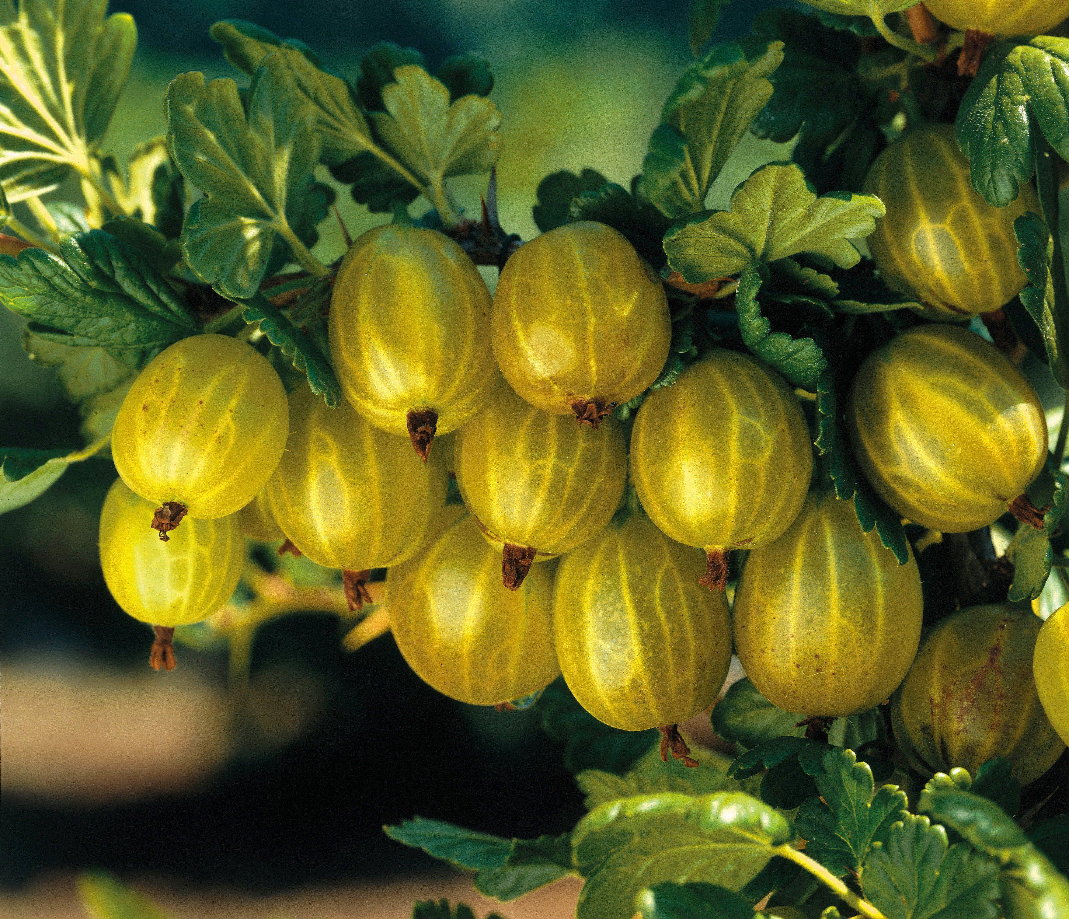 Obst »Stachelbeere Hinnonmäki«