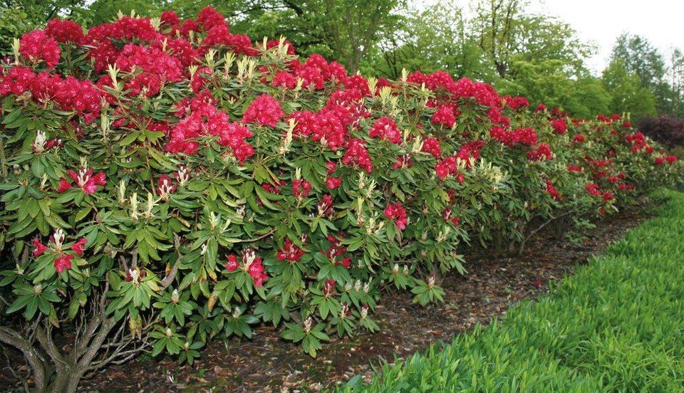 Rhododendron Nova Zembla (2 Pfl.) in rot