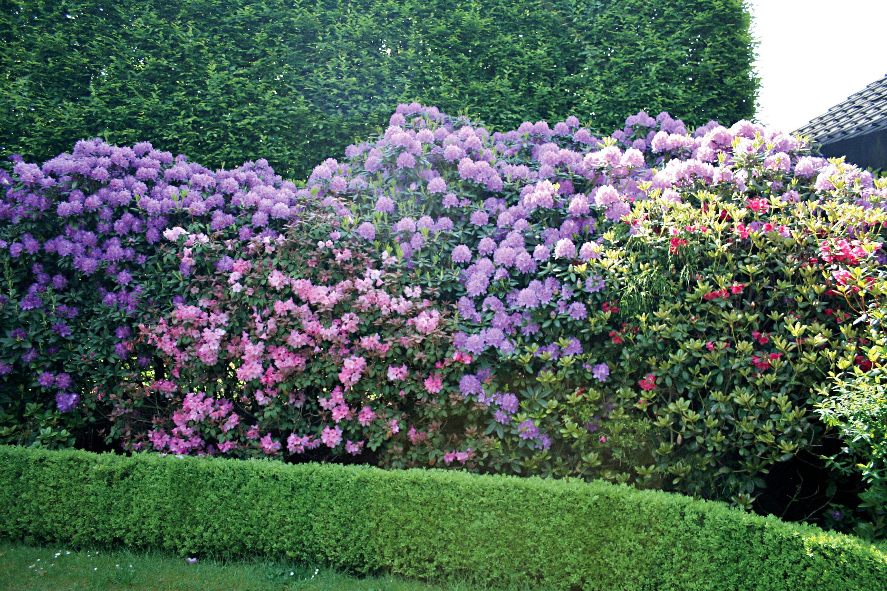 Rhododendron Catawbiense Grandiflorum (2 Pfl.)