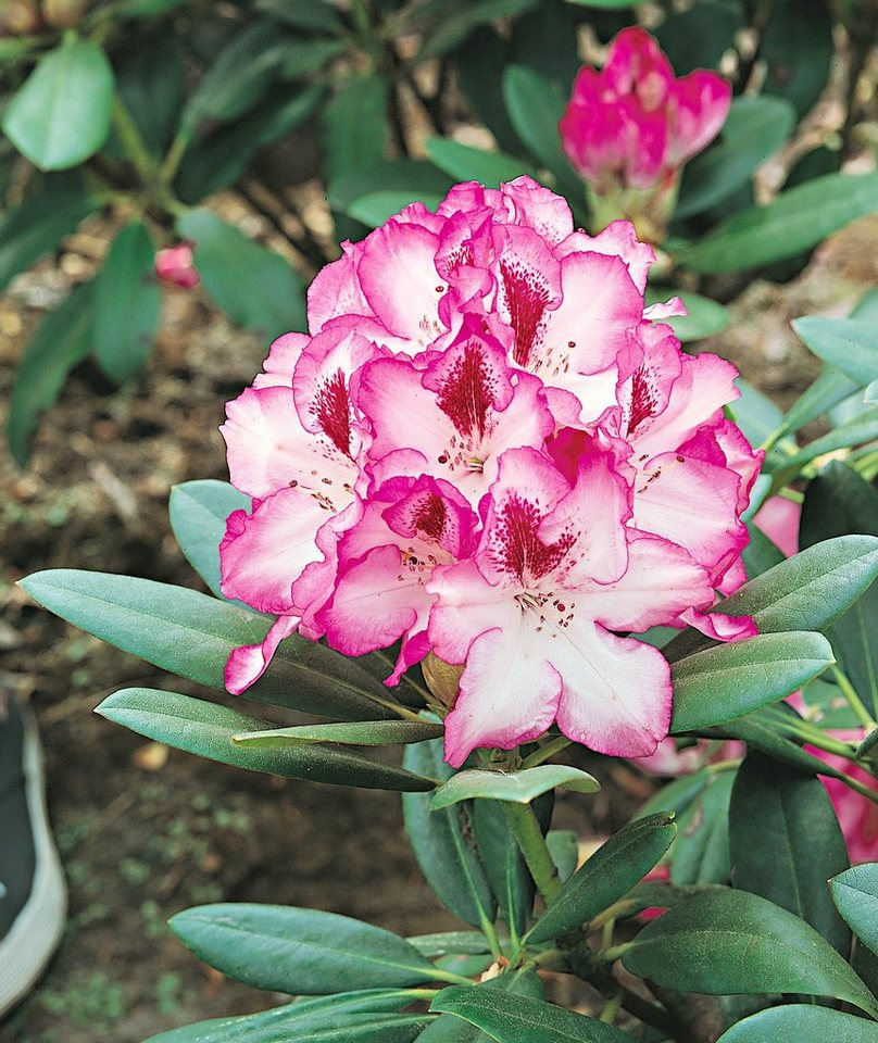 Rhododendron »Hachmann's Charmant®« in weiß
