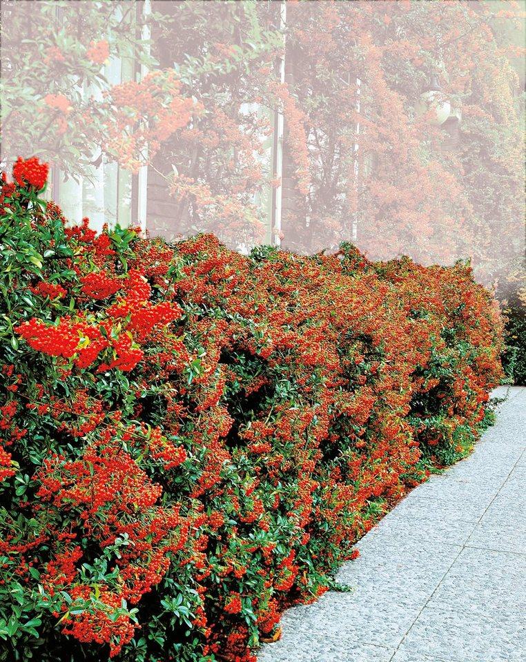 Gehölz »Feuerdorn Red Column« in grün