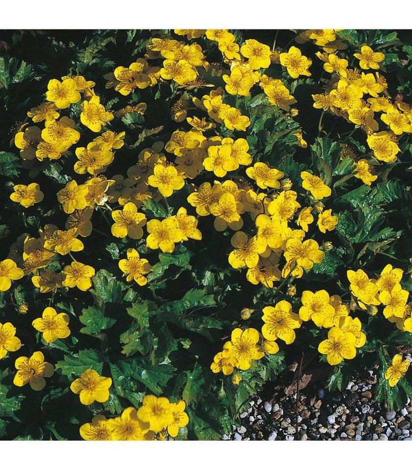 Staudengewächs »Teppich-Golderdbeere« (3 Stk.) in gelb