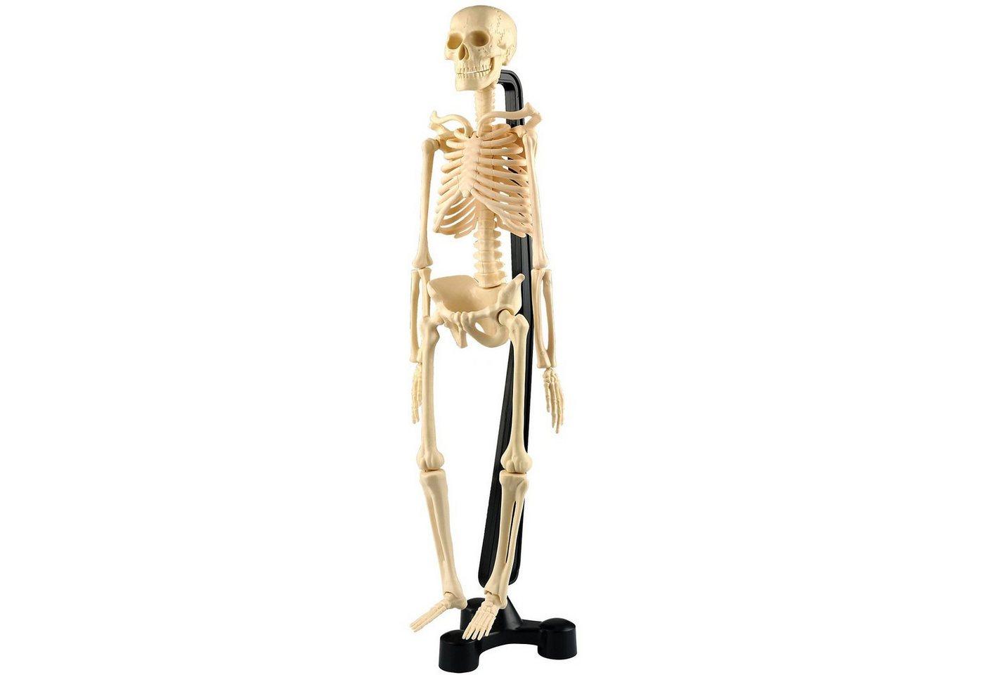 Menschliche skelett | Machen Sie den Preisvergleich bei Nextag