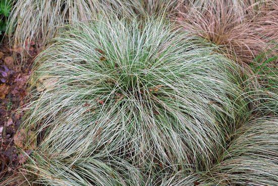 BCM Gräser »Segge brunnea 'Camara' ®« Spar-Set, Lieferhöhe: ca. 30 cm, 3 Pflanzen