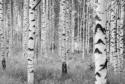 Komar Vliestapete »Birken«, 368/248 cm