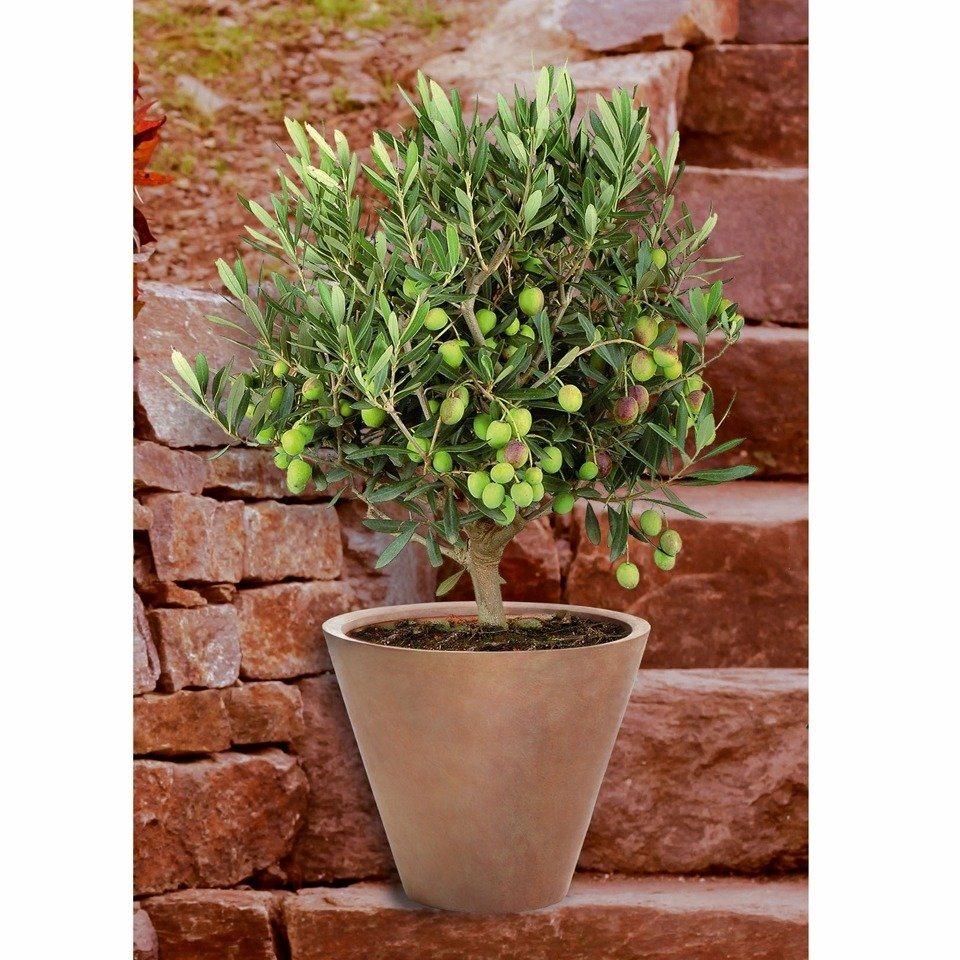 Olivenbaum, Busch in grün