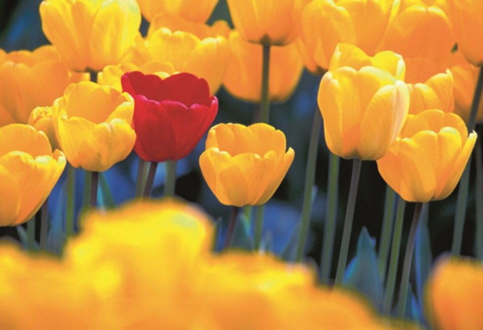 Home affaire Leinwandbild »Rote Tulpe«, 118/78 cm in gelb/rot