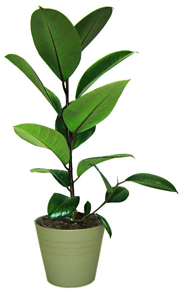 Zimmerpflanze »Gummibaum«, 70 cm in grün