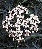 Duftholunder »Black Beauty®« (H: 60 cm), Bild 2