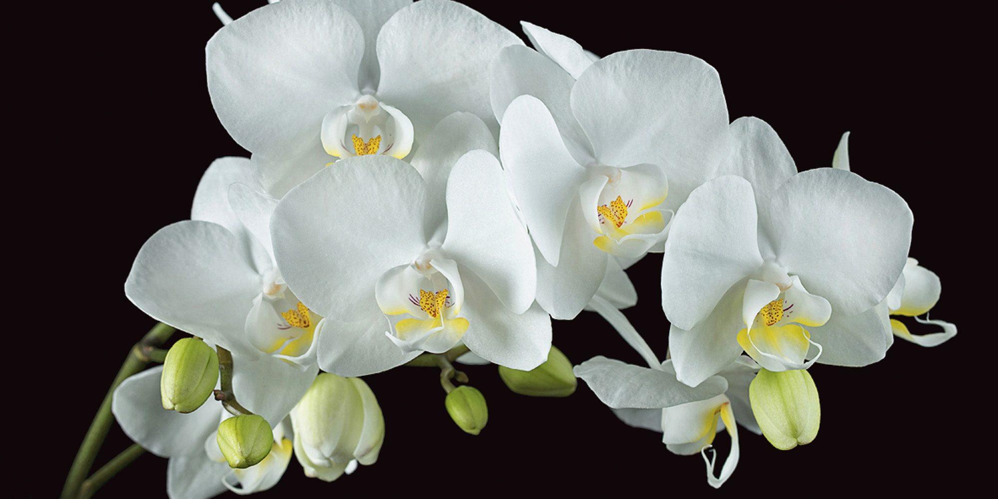 Home affaire Leinwandbild »Harald Biebel: Weiße Orchidee auf schwarzem Hintergrund«, 100/50 cm