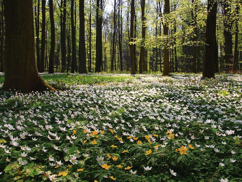 Home affaire Leinwandbild »Sebastian Knight: Frühlingswald bedeckt mit Windröschen«, 80/60 cm in Grün