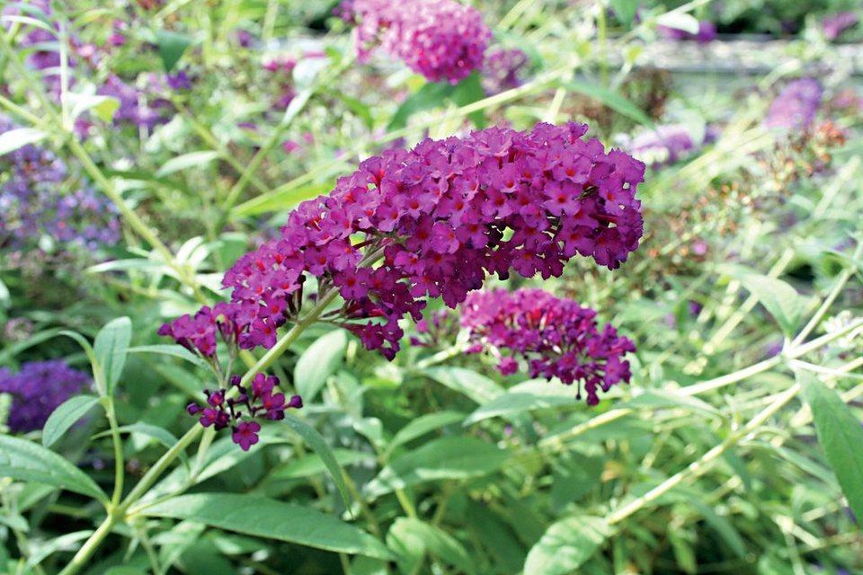 Gehölz »Sommerflieder Royal Red« (3 Pfl.) in lila