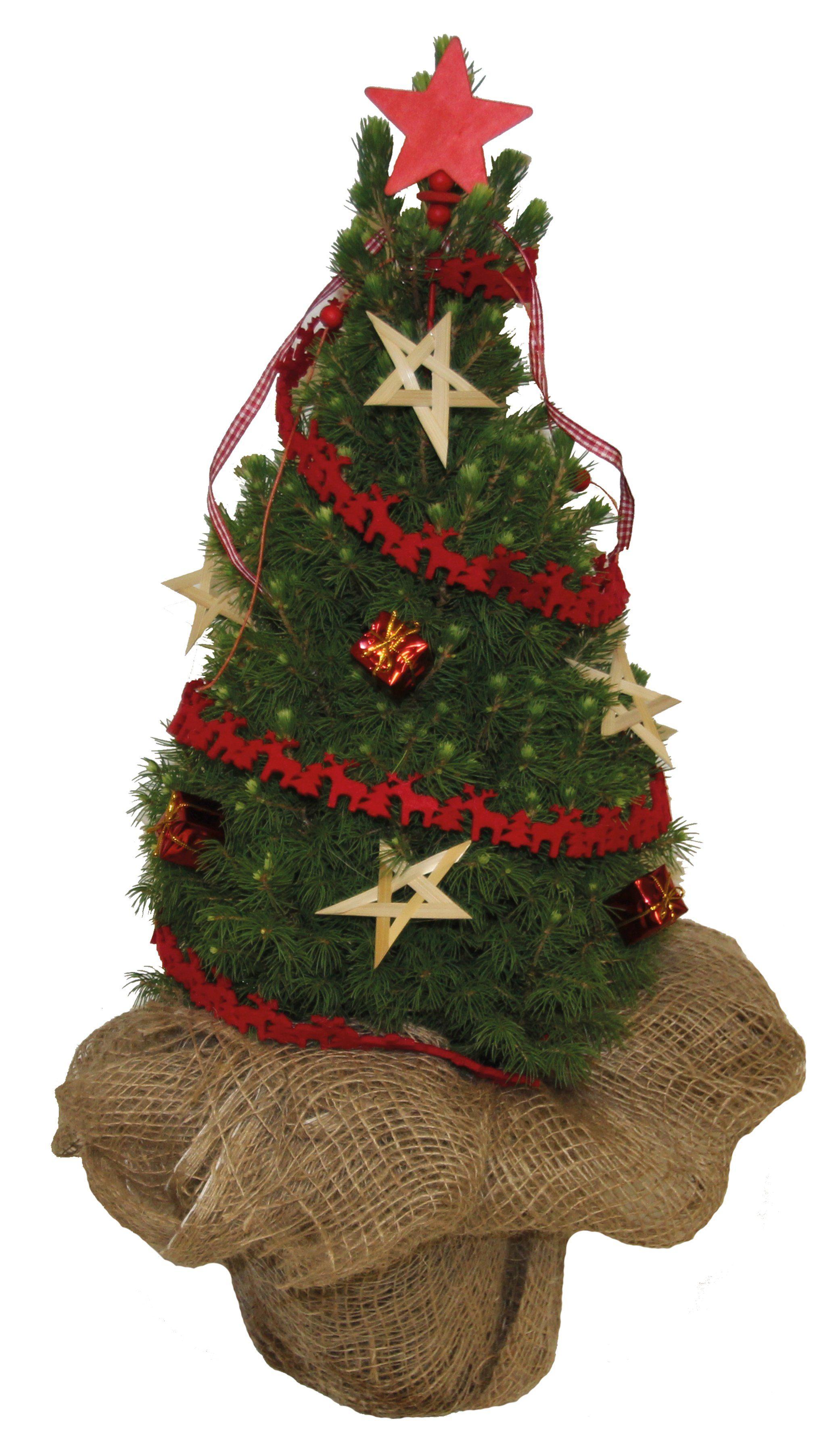 Konifere »Weihnachtsbaum« rot, Lieferhöhe: 60 cm