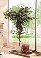 Kunstpflanze »Ficus Benjamini« Ficus Benjamini, Creativ green, Höhe 150 cm, Bild 5