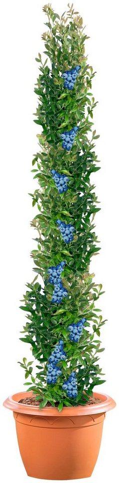 Säulenobst »Heidelbeere« in blau