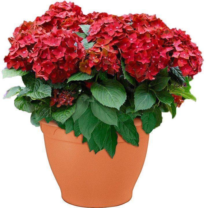 Hortensie »Red Reggea«