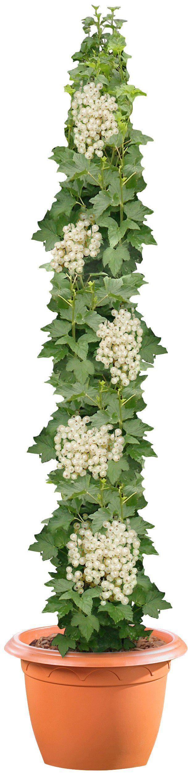 Säulenobst »Weiße Johannisbeere«