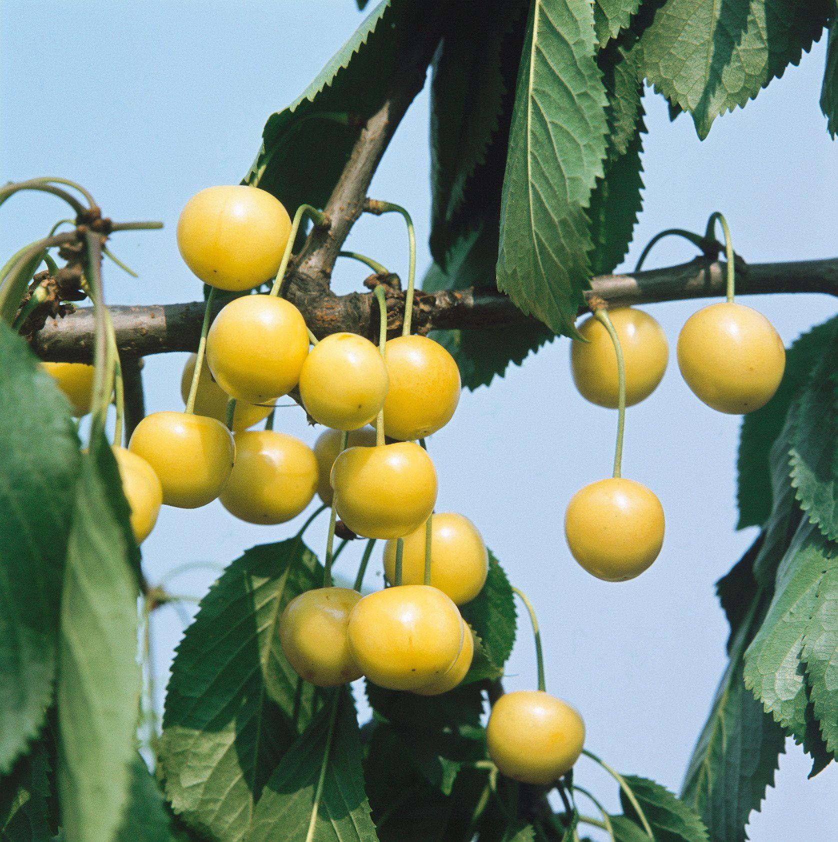 Kirsche »Dönissens Gelbe«