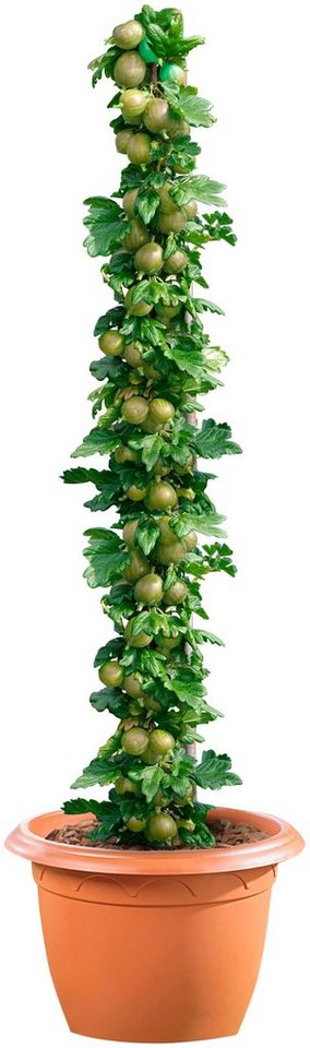 Säulenobst »Grüne Stachelbeere« in grün