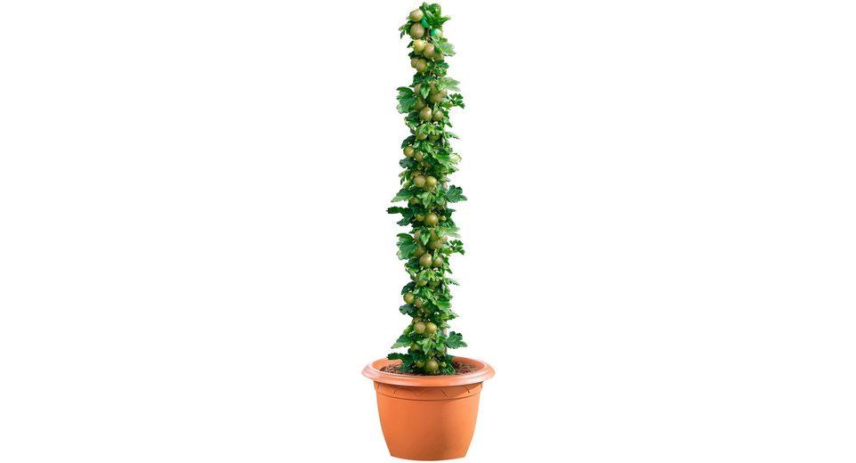 Säulenobst »Grüne Stachelbeere«