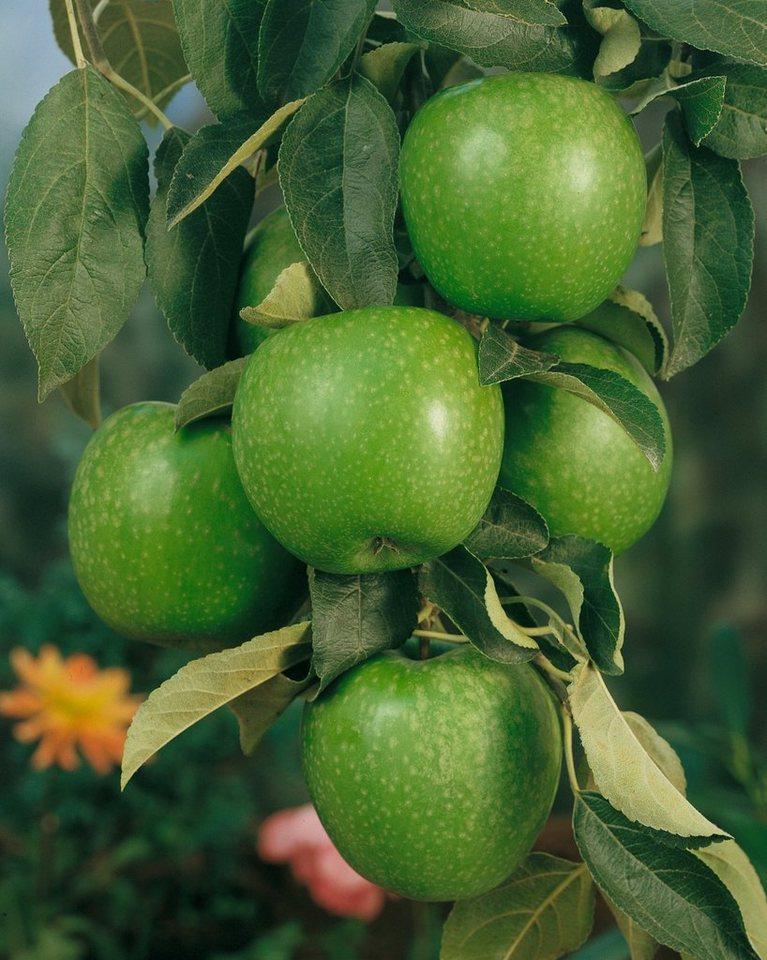 Apfel »Granny Smith« in grün