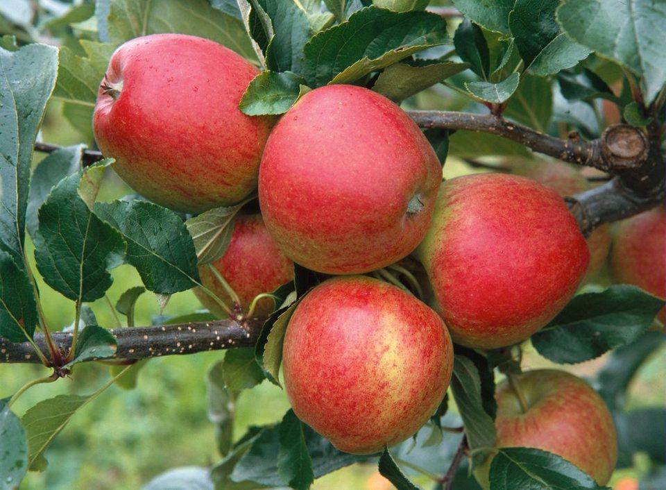 Apfel »Gala« in gelb